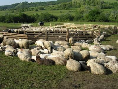 """START UP. Ferma cu 400 de oi, o afacere """"binecuvantata"""" de Paste si de exporturi"""
