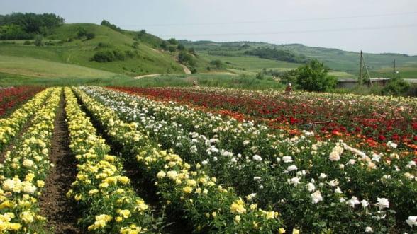 "STARTUP - plantatia de trandafiri: O afacere ""en rose"". Cat investesti si ce profit ""culegi"""