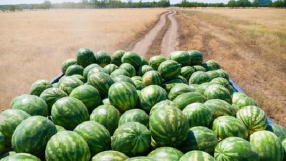 STARTUP: Plantatia de pepeni verzi, o afacere pe gustul intregii familii