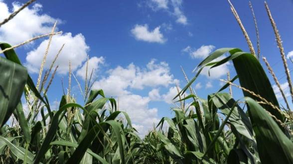 SUA se pregatesc pentru o recolta record de porumb in 2013