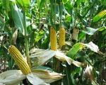 Seceta ar putea afecta pana la 80% din productia de cereale