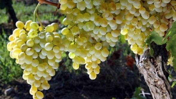 Seceta si productia viticola, in 2012: Calitatea si cantitatea de vin raman aceleasi