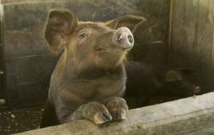 UE vine in control la pesta porcina, iar ANSVSA da ordine de acoperire. De doi ani nu am facut ce zice Bruxelles-ul