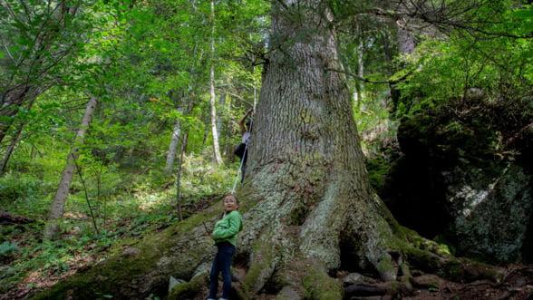 Un brad de 500 de ani din Romania ar putea deveni Copacul Anului in Europa. Voteaza-l si tu!
