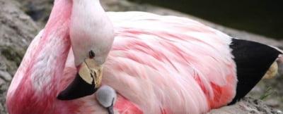 Valul de caldura din Europa e atat de intens, incat a schimbat comportamentul unei rare specii de flamingo