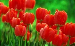 Vezi cate tiruri cu flori olandeze au fost oprite la vama