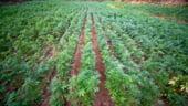 Statul Kentucky reincepe, dupa 50 de ani, productia de canepa. Care sunt perspectivele industriei romanesti