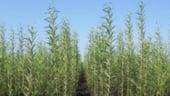 Plantele energetice, noua tendinta in agricultura
