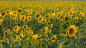 Valeriu Tabara: Productie record de floarea soarelui