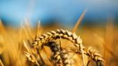 O descoperire senzationala: indeletnicirea cu agricutura a fost fatala pentru umanitate