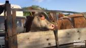 Romania ar crea peste 5.000 de locuri de munca si ar castiga 46 milioane euro anual daca ar inceta exportul cu animale vii, asa cum cere Parlamentul European