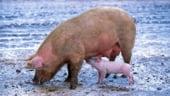 Pesta porcina se extinde cu repeziciune: Sunt afectate 227 localitati din 13 judete