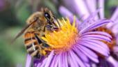 Europa se indreapta spre o catastrofa: Consecintele disparitiei albinelor