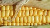 Un nou tip de porumb modificat genetic ar putea cultivat pe pamantul UE