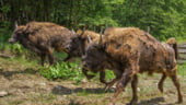 Comisia Europeana promoveaza zimbrii din Romania: Ce ai spune ca urmatorul concediu sa il petreci in Carpati?