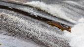 Marea Evadare: 900.000 de somoni au scapat dintr-o ferma piscicola din Chile