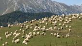 Ministrul Agriculturii: Romania are potential pentru a exporta 4-5 milioane de oi in China