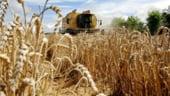 Pretul cerealelor va scadea in urmatorii doi ani, pe fondul cresterii productiei