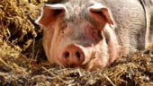 Proprietarul unei ferme acuza ca autoritatile au actionat cu mare intarziere, dupa ce a anuntat ca i s-au imbolnavit porcii
