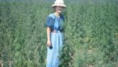 Canepa, comoara agriculturii romanesti pana in '89, ia avant in judetul Salaj