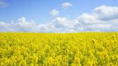 Rapita conduce in topul celor mai profitabile culturi agricole din Romania