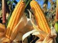 Romania ocupa primul loc in UE la suprafata cultivata cu porumb, dar e a doua la productivitate