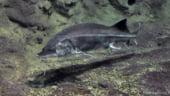 Sturionii salbatici din Romania vor fi monitorizati, in cadrul unui proiect unic in lume