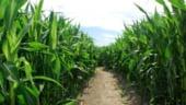 FINANCIAL TIMES: Romania va interzice recolta aprobata de porumb modificat genetic