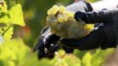 Recolta mai mica de struguri pentru vin in 2014, insa calitatea ar putea fi de exceptie