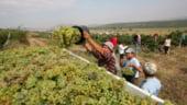 Viticultorii prahoveni au atras peste 18 milioane de euro pentru reconversia podgoriilor