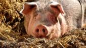 Ucraina va sacrifica 100.000 de porci dupa descoperirea unui focar de pesta porcina