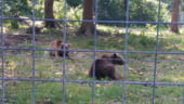 Seful Romsilva sustine ca Romania nu mai suporta asa de multi ursi si ar trebui sa mai omoram din ei