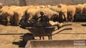 Romania risca ancheta UE pentru exportul de animale: Situatia a scapat complet de sub control!