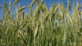 """""""Guvernul si Parlamentul nu doresc o institutie care sa reglementeze pretul cerealelor"""""""