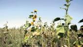 Fermierii pot cere compensatiile pentru pierderile cauzate de seceta