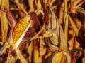 Eurostat: Romania ocupa locul doi in UE la productia de porumb