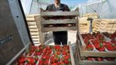 Reversul medaliei: Marea Britanie se teme ca ramane fara fructe, dupa ridicarea restrictilor pentru romani