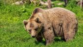 Fermierii francezi si spanioli protesteaza fata de reintroducerea ursilor in Muntii Pirinei