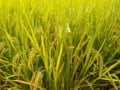 Un aliment de baza pentru miliarde de oameni devine mult mai sarac in substante hranitoare