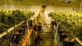 Un alt efect al canabisului: Piata muncii din SUA se invioreaza odata cu legalizarea industriei