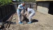 Comisia Europeana incepe azi controlul la pesta porcina. Ce vor face specialistii de la Bruxelles veniti in Romania