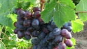 Viticultura romaneasca va dispune de inca 240 de milioane de euro in urmatorii 4 ani