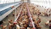 """Industria avicola """"sufera"""": Carnea de pasare, mai ieftina decat ciupercile"""