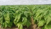 Irimescu: Suprafata cultivata cu tutun a scazut la 1.100 hectare in 2013
